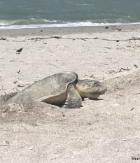 First Sea Turtle Nest of 2018 A Rare Kemp's Ridley