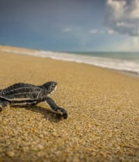 Evenings at the Homestead: Monitoring Endangered Leatherback Sea Turtles