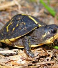 SCCF Herpetologist Joins National Effort