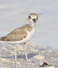 Shorebird Chicks Survive TS Elsa