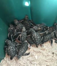Endangered Green Sea Turtle Lays Latest Nest