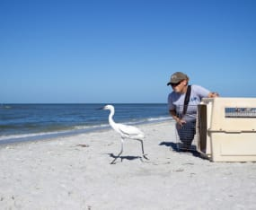 Multi-Organization Effort Leads to Successful Capture and Release of Reddish Egret