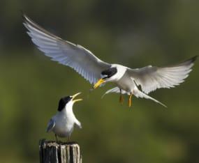 shorebirds-of-sanibel-and-captiva