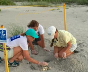 SCCF Seeking Sea Turtle Intern