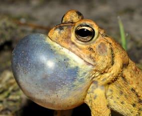 Early Summer Rains Bringing On Frog Calls