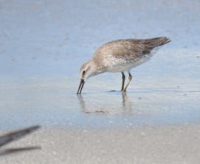 Spotlight on Red Knot & Piping Plover for Global Shorebird Counts