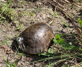 Why Did the Florida Chicken Turtle Cross the Road?