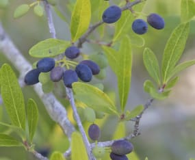 Meet the Natives: Wild Olive