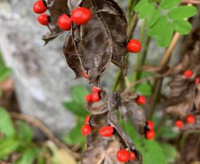 Toxic Exotic: Rosary Pea Vine