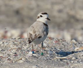 Shorebird Team Protects Nests over Holiday Weekend