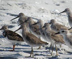 Volunteers Needed for World Shorebird Day Count