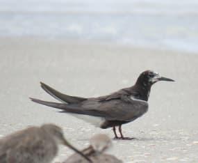 September Heralds Migrating Black Terns