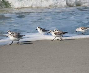 World Shorebirds Day: More than 1,500 Counted