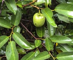 Meet the Natives: Pond Apple