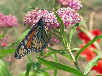Monarch Butterflies and Milkweed