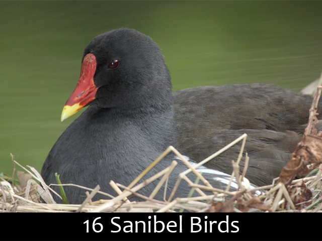 16 Sanibel Birds - How many do you know?
