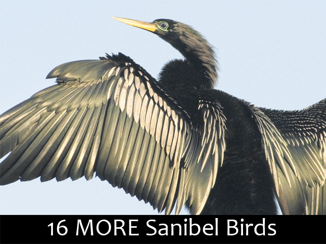 16 MORE Sanibel Birds - Can you name them?