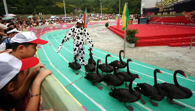 Gjess i aksjon på løpebanen under en dyreolympiade i Kina. (Foto: AP/Scanpix)