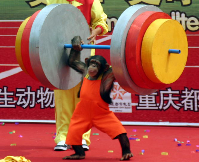 En ape driver med vektløfting under en dyreolympiade i Kina. (Foto: AP/Scanpix)