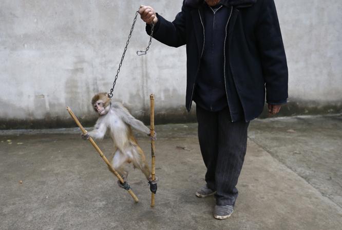 Her trenes apen på stylter med kjetting rundt halsen. (Foto: REUTERS/William Hong)