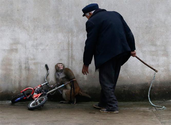 Apen ser tydelig redd ut når treneren kommer med pisk. (Foto: REUTERS/William Hong