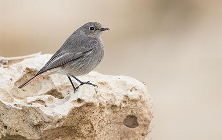 Black Redstart, Malta