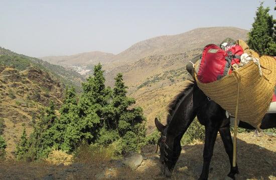 Mule Grazing in the Sierra Nevada