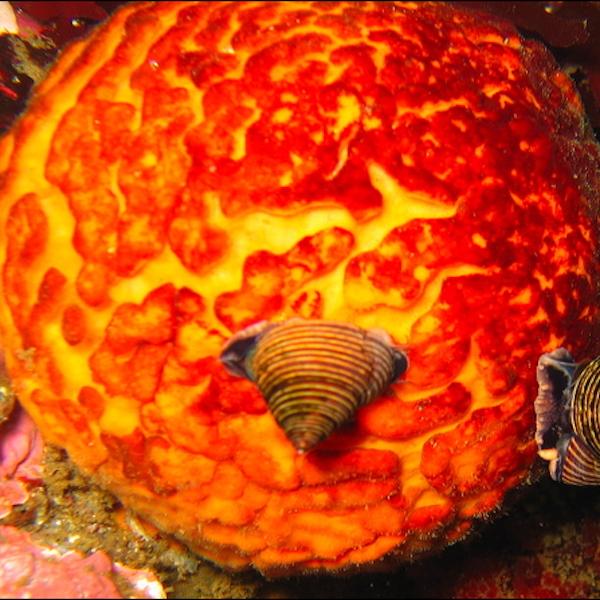 Orange Puffball Sponge