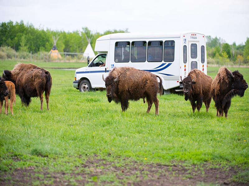 FortWhyte Alive:  Bison Safari