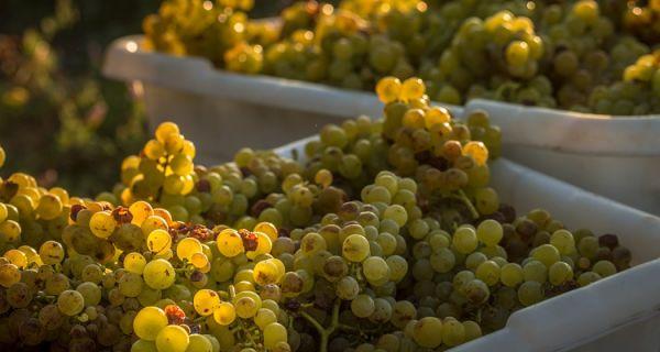 White Wine Grapes in Napa Valley