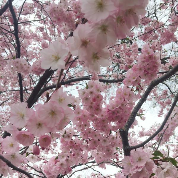 Cherry Blossoms | Olbrich