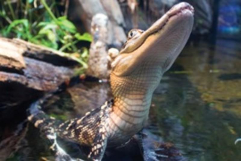 Alligator from Alligator Bayou