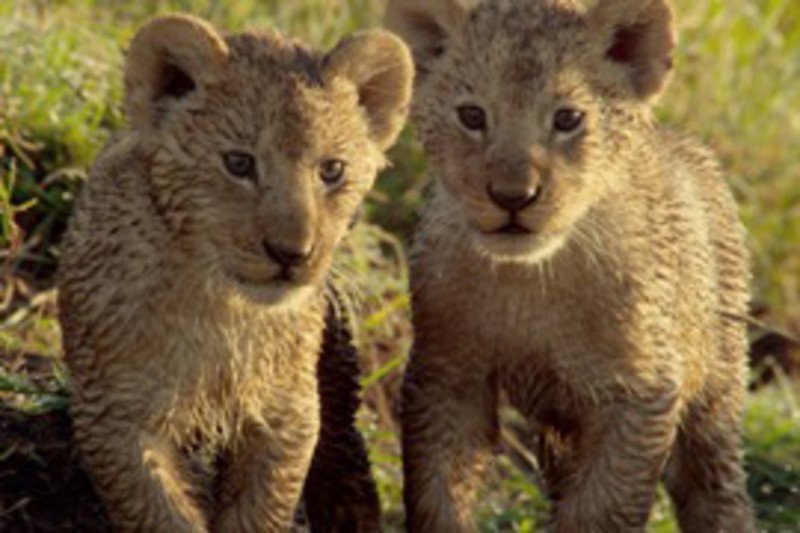 Imax Wild Africa