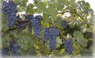 Photo of Broad Run Vineyards