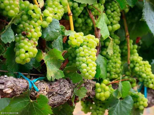 Vineyard in Monterey County, property of Steve Zmak