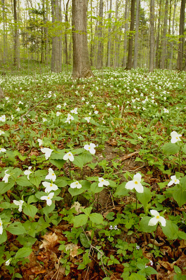 Trilliums and Violets in the Woods
