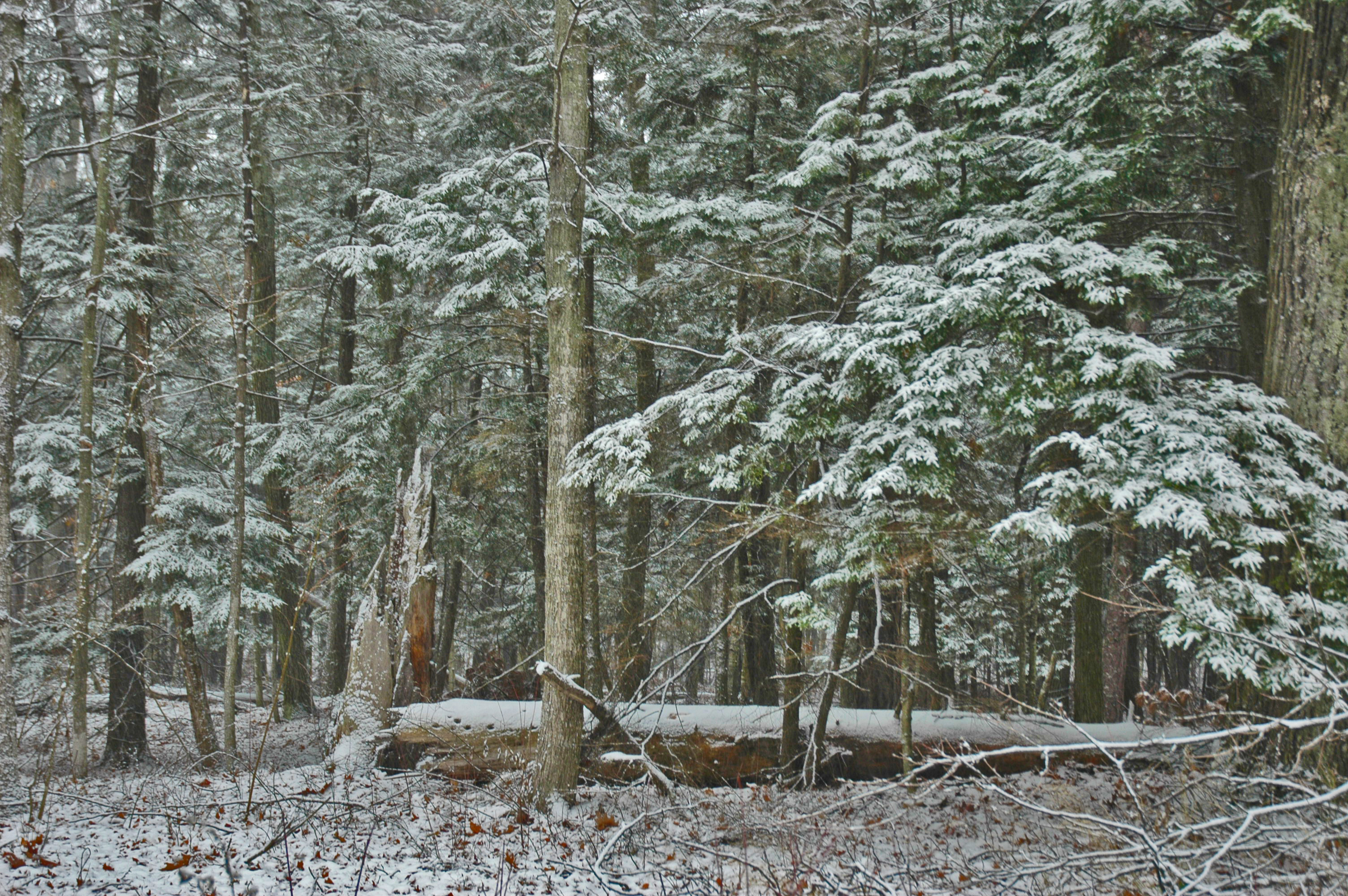 Snow falling on hemlocks at Old Mission this weekend.