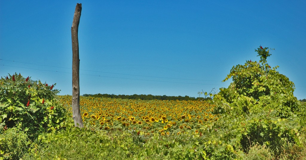 Sunflowers near Maple Bay
