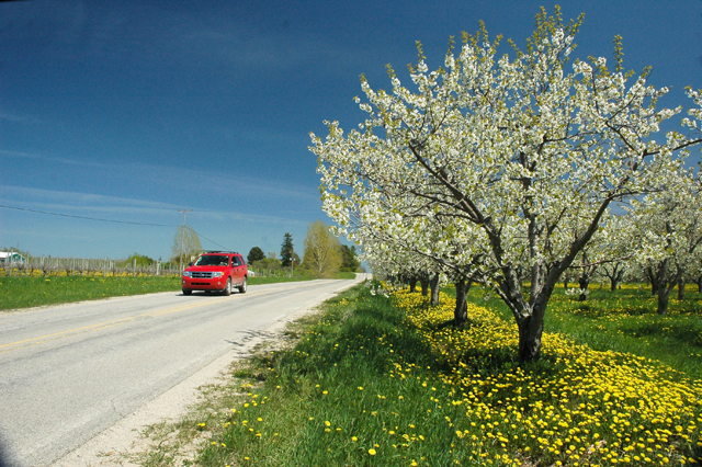 Cherry Trees in Bloom on the Old Mission Peninsula