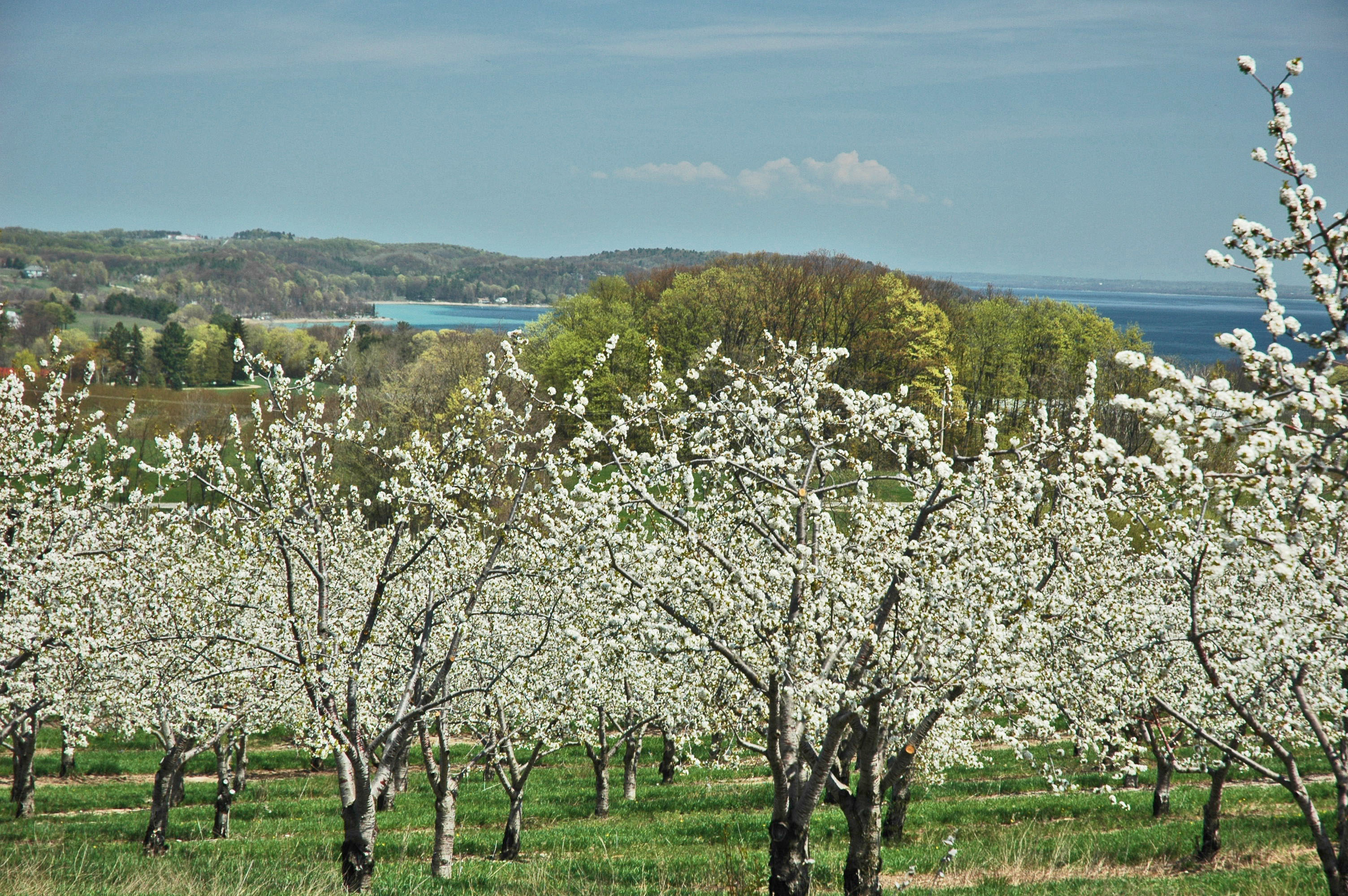 Blooming Cherry Trees on the Old Mission Peninsula