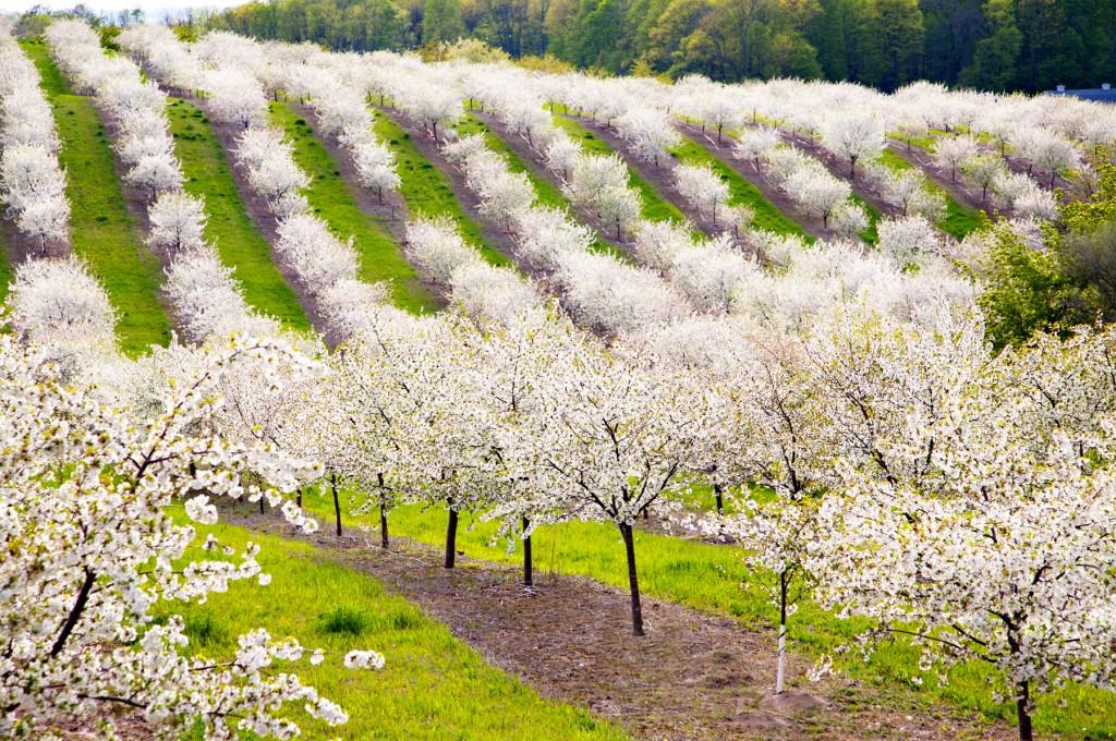 Cherry Blossoms in Leelanau