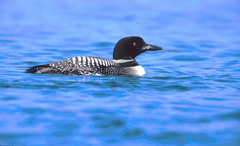 The loons are back in the harbor at Old Mission!