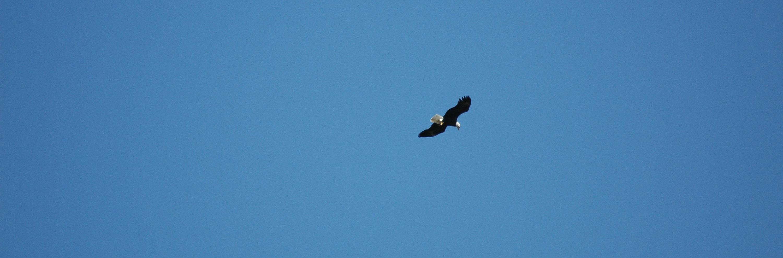 Bud the eagle soars over the harbor again...
