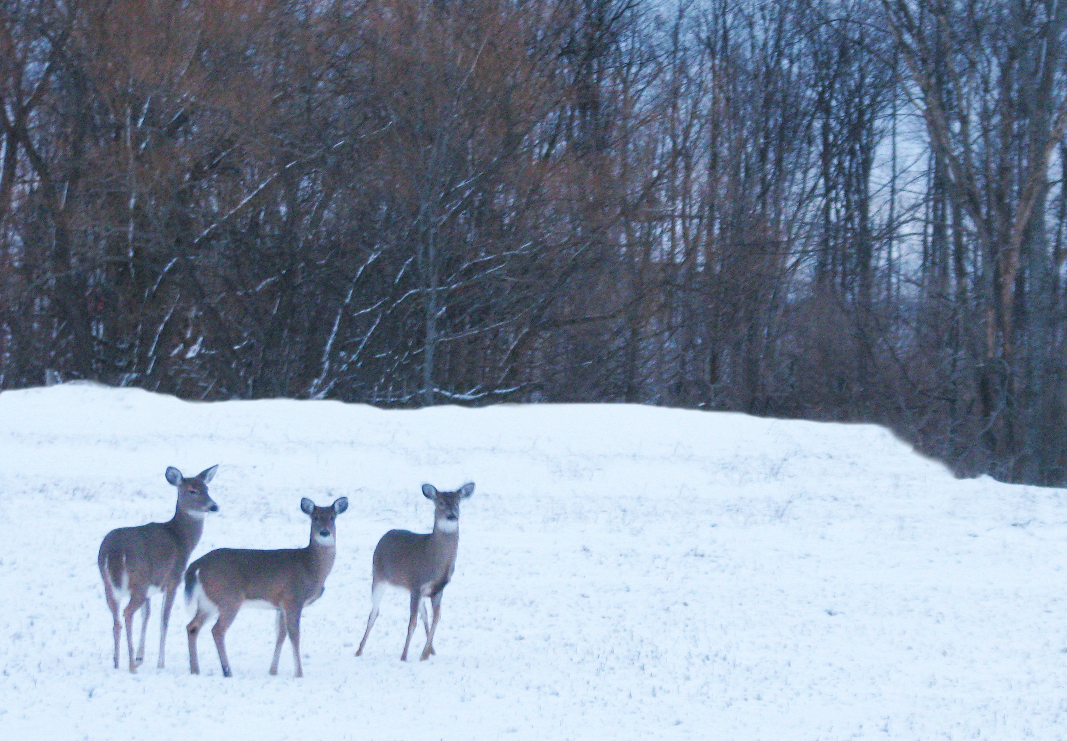 Deer at the edge of a Mapleton orchard