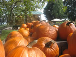Fifer Orchards Pumpkins