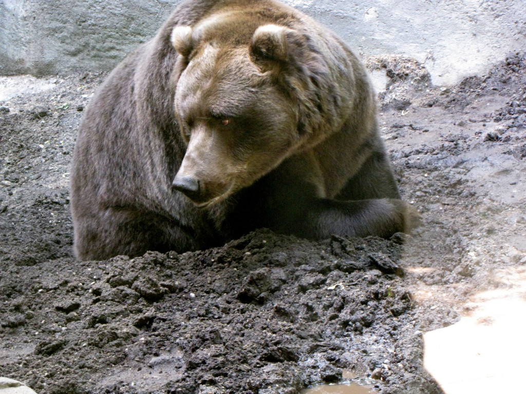 Grizzly bear in mud at the John Ball Zoo in Grand Rapids, MI