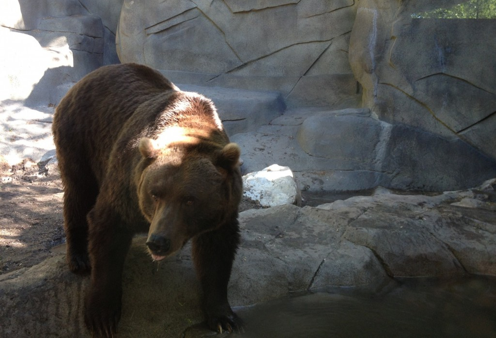Grizzly Bear at John Ball Zoo in Grand Rapids, MI