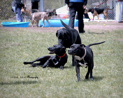 Dogs playing at Covell Dog Park Photo courtesy of Abbie Road Photography