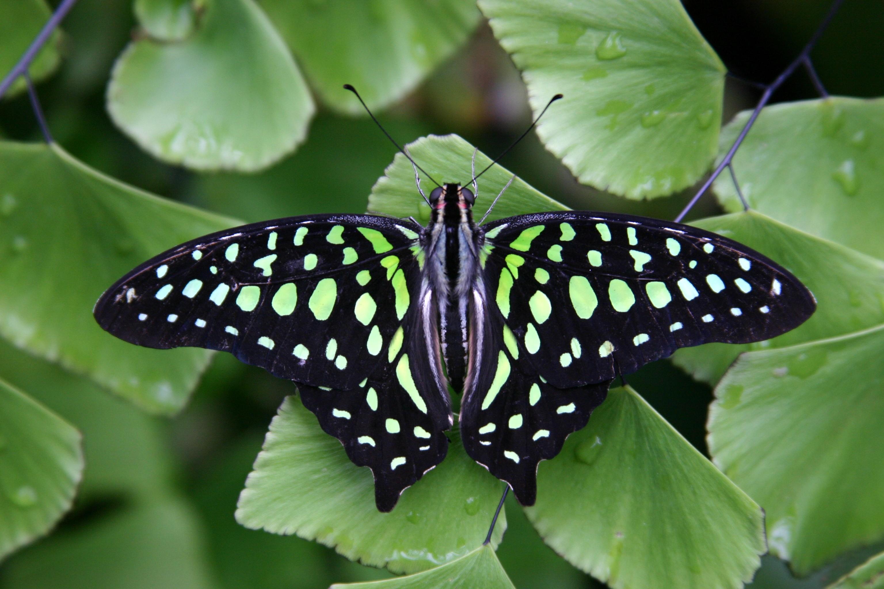 Tailed Jay Butterfly. Photo: Meijer Gardens