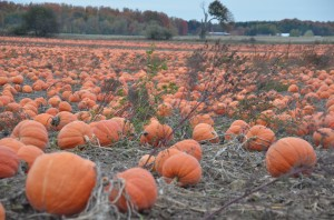 Pumpkin patch in Grand Rapids